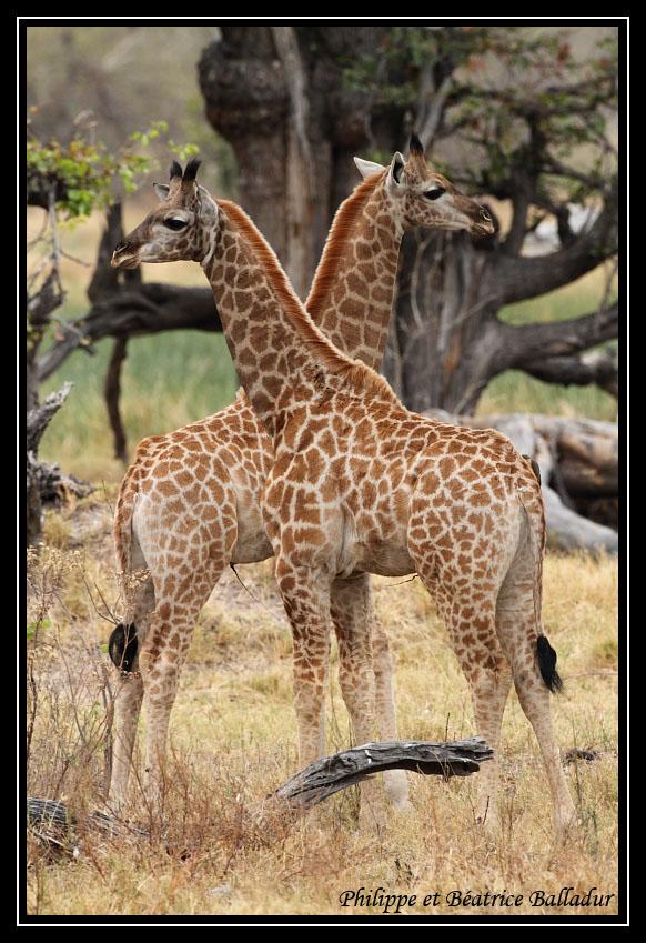 Vincent Munier, photographe  Girafe_08-57023ca